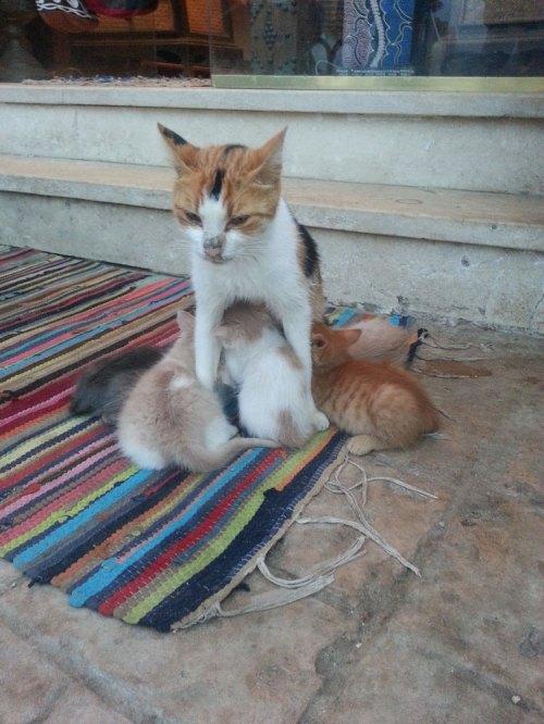 Dahab cats