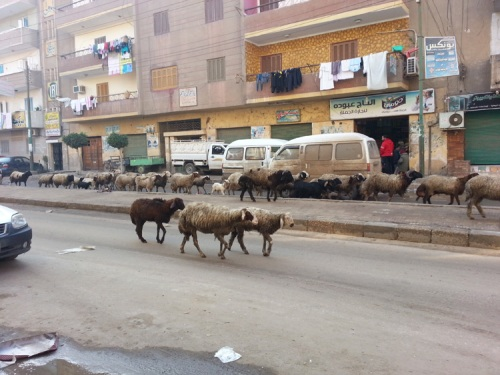 Streets of Benha goats